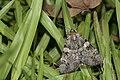 Catocala okurai (34878060360).jpg