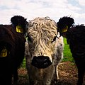 Cattle are curious, especially the young animals. , 26. April 2020 , Kreis Segeberg - Schleswig-Holstein - Germany - Flickr - torstenbehrens.jpg