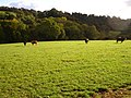 Cattle at Plasdwpa - geograph.org.uk - 587447.jpg