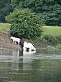 Cattle drinking - geograph.org.uk - 1357879.jpg