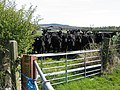 Cattle near Highfield Lodge - geograph.org.uk - 407703.jpg