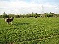 Cattle on Powick Ham - geograph.org.uk - 1284300.jpg