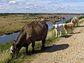 Cattle on the sea wall, Pennington Marshes - geograph.org.uk - 505133.jpg