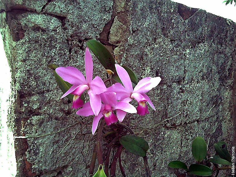 File:Cattleya violacea orquídea orchid 1.jpg