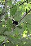 Cayenne Jay (Cyanocorax cayanus)