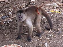 Brauner Kapuzineraffe Wikipedia