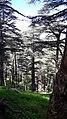 Cedar Of Atlas trees at Theniet El Had National Parc.jpg