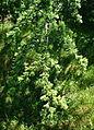 Cedrus atlantica - Arnold Arboretum - DSC06790.JPG