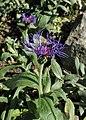Centaurea montana kz06.jpg
