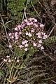 Centaurium erythraea (Gentianaceae) (45995458242).jpg