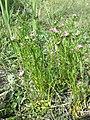 Centaurium littorale (subsp. uliginosum) sl17.jpg