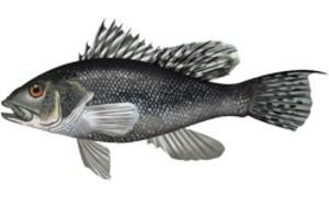 Black sea bass - Image: Centropristis striata