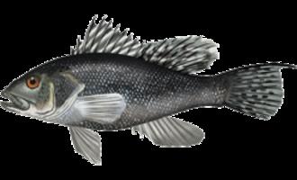 Black sea bass - Image: Centropristis striata