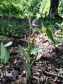 Cephalanthera rubra sl3.jpg