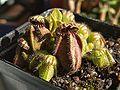 Cephalotus follicularis.jpg