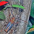 Cerambycidae - Psalidognathus friendi.JPG
