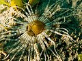 Ceranthidae (Tube Anemone).jpg