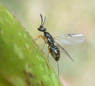 <i>Ceratosolen</i> genus of fig wasps