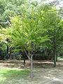 Cercidiphyllum japonicum - Nagai Botanical Garden - DSC07638.JPG