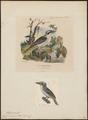 Ceryle maxima - 1700-1880 - Print - Iconographia Zoologica - Special Collections University of Amsterdam - UBA01 IZ16800255.tif