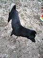 Chó đen (chó mực) ở Cát Sơn (1).jpg