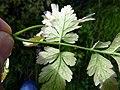 Chaerophyllum temulum leaf (13).jpg