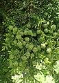 Chamaecyparis obtusa kz02.jpg