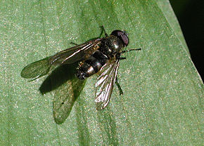 Description de l'image Cheilosia_fasciata_fg02.jpg.