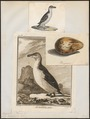 Chenalopex torda - 1700-1880 - Print - Iconographia Zoologica - Special Collections University of Amsterdam - UBA01 IZ17800187.tif