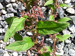 Chenopodium polyspermum close up 1 AB.jpg