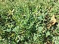 Chenopodium vulvaria sl96.jpg