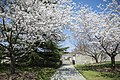 Cherry trees at Arlington National Cemetery.jpg