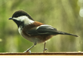 Chestnut-Backed Chickadee (Poecile rufescens).png