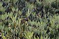 Chestnut-crowned laughingthrush (Trochalopteron erythrocephalum) JEG1168.jpg