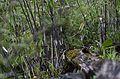 Chestnut-headed tesia (Cettia castaneocoronata) JEG1454.jpg