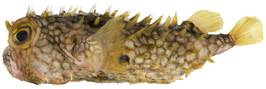 Chilomycterus antillarum - pone.0010676.g199.png