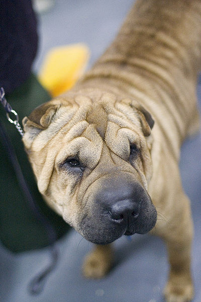 Chinese Shar-Pei Westminster Dog Show
