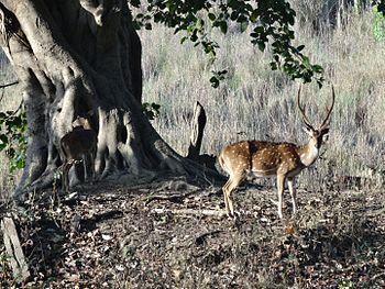 Chital at Kanha National Park.jpg