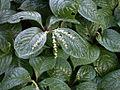 Chloranthus oldhami 20070226-1527-40.jpg