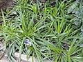 Chlorophytum capense - Jardin Botanique de Lyon - DSC05336.JPG