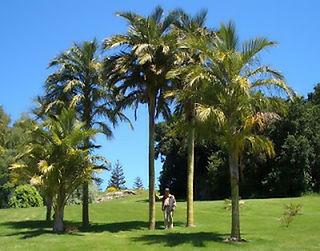 <i>Juania</i> Genus of palms