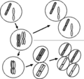 Chromosomes in mitosis and meiosis.png