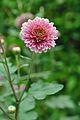 Chrysanthemum - Science City - Kolkata 2012-01-11 8032.JPG