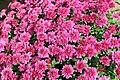 Chrysanthemum Delphi 1zz.jpg