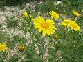 Chrysanthemum coronarium-3.jpg