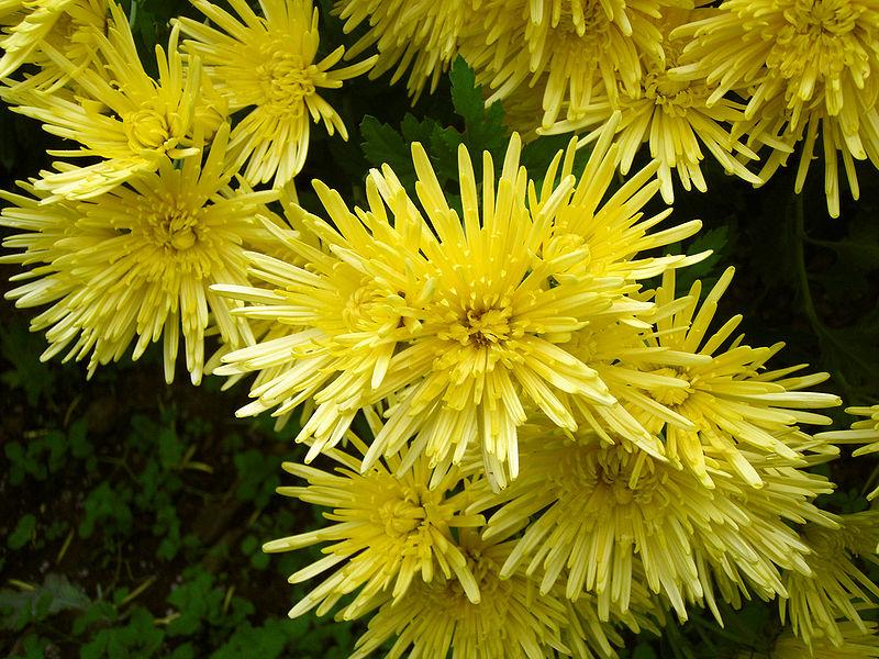 أحلى الألوان من زهور الأقحوان 800px-Chrysanthemum_