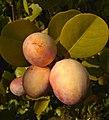 Chrysobalanus icaco (Chrysobalanaceae) 03.jpg