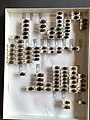 Chrysomelidae collection, Natural History Museum, London 172.jpg