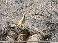 Chukar Partridge (Alectoris chukar) (24940246897).jpg