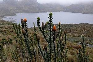 Cajas National Park - A Chuquiraga jussieui plant next to a lake in the park.